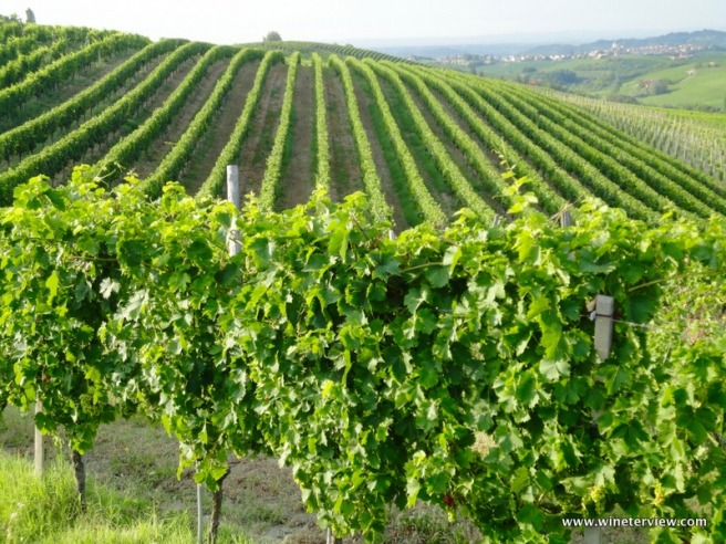 piedmont, uva, vino, cantina, winery, vineyard, vigneto, piemonte, uva, grape, winemaking, produzione del vino,